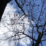 silver maple in bloom