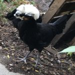 Sia chicken